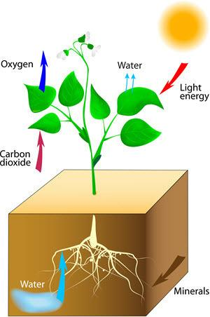 Which of the following are the ingredients that go into the plant and are needed for photosynthesis?