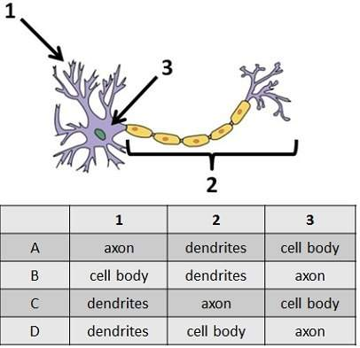 The diagram shows a nerve cell. which row in the table labels the diagram correctly?
