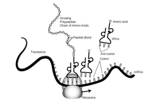 Translation and protein synthesis is taking place at the ribosome in this illustration. where did th